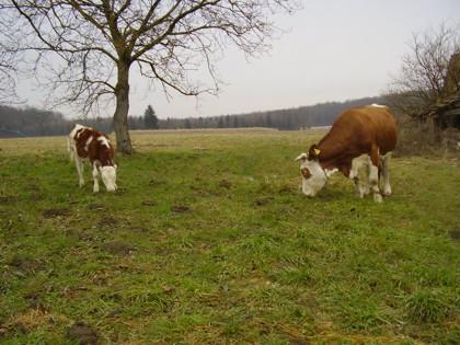 Krave i bikovi Krave